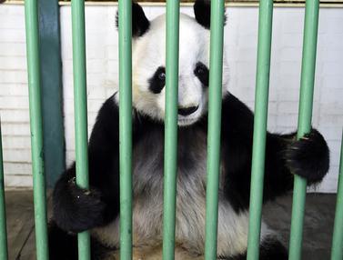 Menengok Xin Xin dan Shuan Shuan, Panda Imut Milik Meksiko