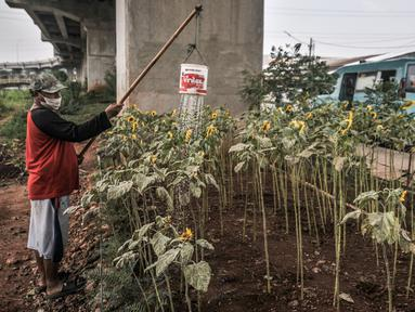 Budi (63) melakukan perawatan kebun bunga matahari di kawasan Kalimalang, Jakarta, Rabu (14/7/2021). Pandemi Covid-19 menyebabkan Budi kehilangan mata pencaharian sebagai penjual tiket pertandingan olahraga dan beralih profesi menjadi petani benih bunga matahari. (merdeka.com/Iqbal S Nugroho)