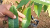 Daun durian memiliki banyak manfaat untuk kesehatan tubuh (Dok.YouTube)