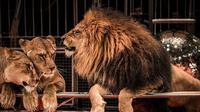 Ilustrasi harimau dan singa. (iStockphoto)