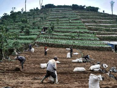 Sejumlah petani menyiapkan lahan untuk ditanami kentang di Desa Sembungan, Dieng, Jawa Tengah, 1 Juli 2021. Selain keindahan alam, dataran tinggi Dieng terkenal dengan komoditas kentang. (merdeka.com/Iqbal S. Nugroho)