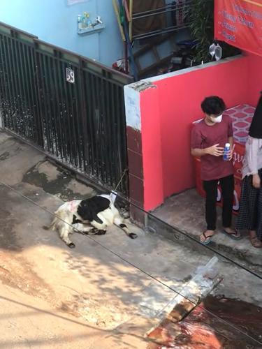 Tingkah hewan kurban pura-pura mati saat hendak disembelih.
