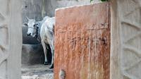 Ilustrasi sapi di India (Lyndsay Abel/Unsplash).