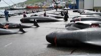Perburuan paus liar yang kontroversial, oleh masyarakat Kepulauan Faroe (AFP)
