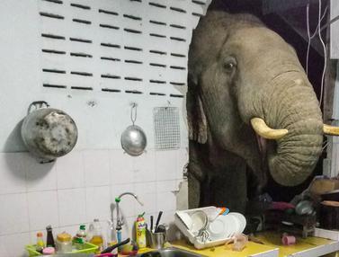 FOTO: Bikin Kaget, Gajah Cari Makan di Dapur Rumah Warga Thailand
