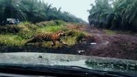 Setelah Jumiati, karyawati perusahaan sawit pada awal Januari lalu, kini buruh bangunan bernama Yusri yang menjadi korban keganasan harimau di Kabupaten Indragiri Hilir, Riau. (M Syukur/Liputan6.com)