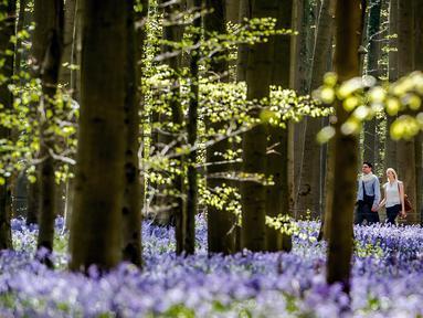 Pasangan berjalan di antara bunga bluebell yang bermekaran di hutan Hallerbos, Belgia, Kamis (19/4). Setiap tahunnya pada pertengahan April dan sepanjang Mei, hutan ini berubah menjadi biru keunguan, seperti di dunia dongeng. (AP/Geert Vanden Wijngaert)