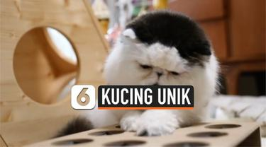 Seekor kucing bernama Zuu menjadi populer di dunia maya. Pasalnya ia memiliki penampilan unik yakni bulu yang menyerupai rambut palsu di kepala.