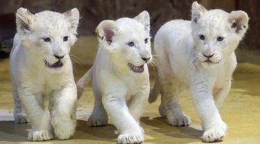 Tiga singa putih langka menjelajahi kandang mereka di kebun binatang di Magdeburg, Jerman, Rabu (15/1/2020). Tiga singa putih langka berjenis kelamin satu jantan dan dua betina tersebut lahir pada 11 November 2019. (AP Photo/Jens Meyer)