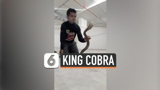 Tak semua orang memiliki keberanian untuk berhadapan dengan ular berbisa apalagi ular jenis king kobra. Seorang pawang di Thailand perlihatkan cara bagaimana menaklukan hewan ganas tersebut.