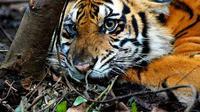 Seekor harimau Sumatera (panthera tigris sumatrae) jerat kawat baja di kebun akasia konsesi PT Arara Abadi di Kabupaten Pelalawan, Riau. (Antara).