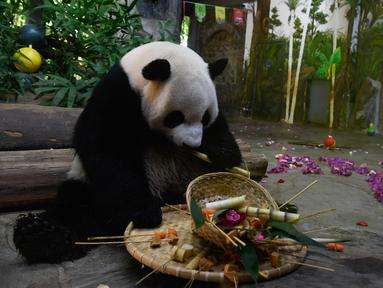 Panda raksasa Shunshun menikmati makanannya di Kebun Raya dan Taman Margasatwa Tropis Hainan, Haikou, ibu kota Provinsi Hainan, China selatan, pada 26 Oktober 2020. (Xinhua/Yang Guanyu)