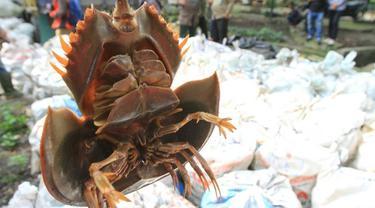 Belangkas yang dikenal sebagai satwa laut dangkal yang membantu penguraian sampah.
