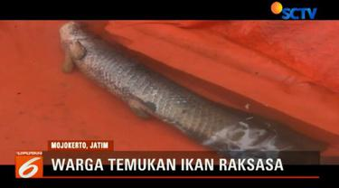 Ikan berjenis arapaima ini memiliki panjang 157 sentimeter dan memiliki berat sekitar 30 kilogram.
