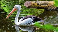 Burung Pelikan Australia. (dok.Instagram @xiwox_woko/https://www.instagram.com/p/BtW8iuTgrWQ/Henry