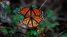 Sepasang kupu-kupu raja terlihat di suaka Amanalco de Becerra, Meksiko, 14 Februari 2019. Kehadiran kupu-kupu raja ini merupakan sebuah pemandangan tahunan yang indah bagi wisatawan, ilmuwan, dan warga lokal. (AP/Marco Ugarte)