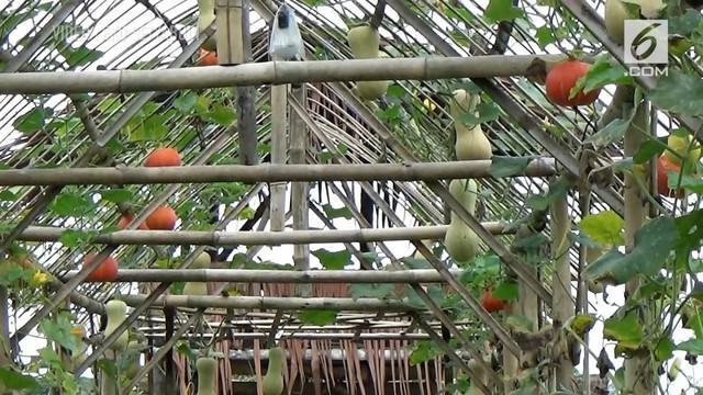 Sebuah kampung ditengah perkotaan Tasikmalaya, warganya memanfaatkan lahan disekitar rumah untuk menananm labu.