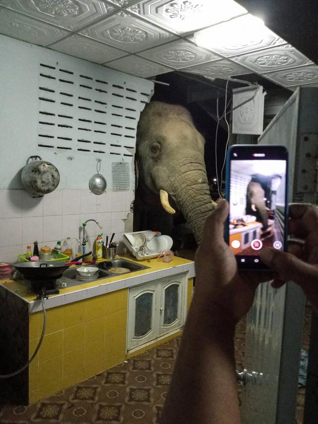 Foto yang diambil pada 20 Juni 2021 dan mendapat izin dari Radchadawan Peungprasopporn melalui akun Facebooknya pada 22 Juni 2021 menunjukkan gajah mencari makanan di dapur rumahnya, Pa La-U, Hua Hin, Thailand. Kejadian ini bikin kaget pemilik rumah. (Radchadawan PEUNGPRASOPPORN/FACEBOOK/AFP)