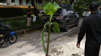 Warga menanam pohon pisang di jalan penghubung Bogor-Depok karena tak kunjung diperbaiki. (Liputan6.com/Achmad Sudarno)