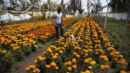 """Pegulat Meksiko """"Ciclonico"""" menggunakan topeng agar tidak teridentifikasi saat menyirami bunga marigold di Xochimilco, Mexico City, Rabu (14/10/2020). Panen bunga marigold yang dikenal sebagai Cempasuchil dalam bahasa Nahuatl dilakukan jauh-jauh hari sebelum Day of the Dead. (AP Photo/Marco Ugarte)"""