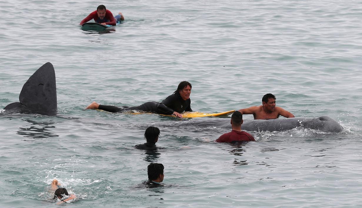 Peselancar membantu paus sperma terluka yang terdampar di perairan San Bartolo, Peru, Selasa (20/8/2019). Paus sperma muda dengan panjang sekitar empat meter tersebut terdampar sejak pagi hari. (AP Photo/Martin Mejia)