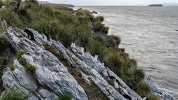 Beberapa penguin Rockhopper memanjat tebing di Pulau Kidney, Kepulauan Falkland (Malvinas), Stanley, Inggris, 9 Oktober 2019. Di wilayah Inggris di Samudra Atlantik Selatan tersebut terdapat penguin jenis King, Rockhopper, Gentoo, Magellanic, dan Macaroni. (Pablo PORCIUNCULA BRUNE/AFP)