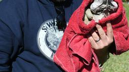 Seekor iguana yang kaku digendong petugas dengan selimut di Taman Nasional Everglades, Florida selatan, 6 Januari 2018. Suhu dingin dilaporkan anjlok hingga berkisar minus 0 - 50 derajat Celcius meluas di kawasan pesisir timur Amerika Serikat. (AP Photo)