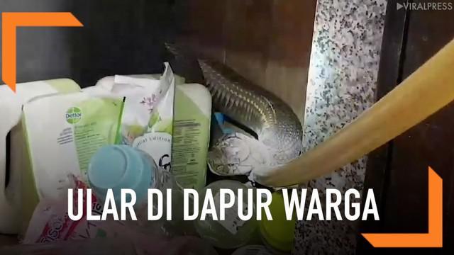 Seekor ular jenis king kobra sepanjang 5 meter ditemukan bersembunyi di dapur rumah milik seorang warga.