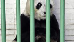 Shuan Shuan, panda raksasa wanita (Ailuropoda melanoleuca) terlihat selama pemeriksaan fisik di kebun binatang Chapultepec, Mexico City (12/2/2020). Xin Xin dan Shuan Shuan merupakan dua spesimen Hewan yang lahir di Meksiko dan satu-satunya di dunia yang tidak dimiliki China. (AFP/Alfredo Estrella)