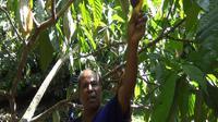 Buah kakao busuk di pohon. (Liputan6.com/Anri Syaiful)