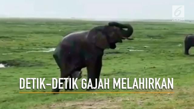 Video menakjubkan menampilkan detik-detik seekor induk gajah melahirkan di alam bebas Afrika Selatan.