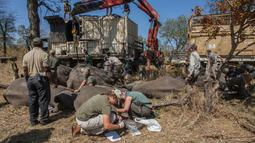 Petugas Taman Afrika memeriksa keamanan dan keselamatan sejumlah gajah sebelum dipindahkan di Majete Game Reserve, Malawi selatan (14/7). Selain itu pemindahan gajah ini juga bertujuan untuk meningkatkan daya tarik wisata.(AFP Photo/Amos Gumulira)