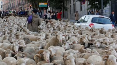 Penggembala memimpin domba melewati pusat kota Madrid di Spanyol, 21 Oktober 2018. Para gembala menggiring ribuan ekor domba ke jalanan yang merupakan kegiatan tahunan bernama Festival Fiesta de la Trashumancia. (AP Photo/Paul White)