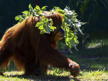 FOTO: Tingkah Orangutan hingga Beruang di Biopark of Rio Brasil
