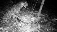 Sepasang macan tutul Jawa terdeteksi di Nusakambangan. (Foto: Liputan6.com/BKSDA Jateng/Muhamad Ridlo)