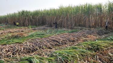 Geliat Petani Tebu di Tengah Ekspansi Gula Impor