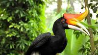 Burung rangkong gading (rhinoplax vigil) merupakan burung asli Indonesia yang keberadaannya terancam punah akibat perburuan dan perdagangan ilegal. (Foto: Dok KLHK/Liputan6.com/B Santoso)