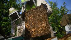 Pekerja mengambil sarang lebah saat panen di Beit Hanun, Jalur Gaza utara, Minggu (30/4). Peternakan lebah ini menghasilkan 4000 kilo madu setiap tahun yang hanya dijual di Jalur Gaza. (AFP PHOTO / MOHAMMED ABED)
