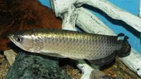 Keindahan Arwana Jardini, ikan hias dari Papua ini memukau dunia. Tak hanya arwana, ikan Rainbow Boesamani pun tak kalah memukau. Foto : yosmo/infosiana