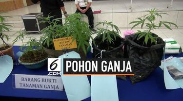 Satnarkoba Polres Cimahi menangkap buruh pabrik, lantaran memiliki puluhan pohon ganja di rumahnya.