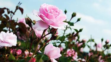 Ladies Ini Lho 8 Makna Di Balik Warna Bunga Mawar Lifestyle