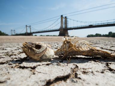 Tulang ikan terlihat di bagian kering dasar Sungai Loire di Montjean-sur-Loire, Prancis barat (24/7/2019). Gelombang panas tengah melanda sebagian besar Eropa termasuk Prancis yang akan mencetak rekor suhu terbaru di beberapa negara. (AFP Photo/Loic Venance)