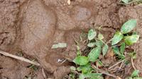 Dua ekor kerbau milik warga di Nagari Sungai Pua Kabupaten agam, Sumatera Barat diserang oleh satwa liar yang diduga harimau. (Liputan6.com/ BKSDA Agam)