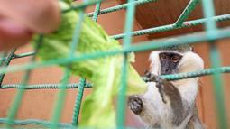 Salah Tolba, penjaga kebun binatang Mesir memberi makan seekor monyet di kebun binatang, Giza, Mesir, 28 April 2016. Kebun binatang ini adalah rumah bagi beberapa satwa liar mulai dari kera, kucing liar dan reptil. (REUTERS / Mohamed Abd El Ghany)