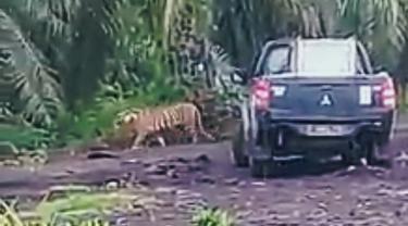 Setelah Terkena Bius, Jejak Harimau Bonita Kini Sulit Terlacak