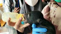 Dokter klinik satwa BBKSDA Riau memberikan susu kepada anak beruang yang terpisah dari induknya. (Liputan6.com/M Syukur)