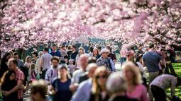 Sejumlah warga berjalan di bawah Bunga sakura yang bermekaran di sepanjang jalan di Pemakaman Bispebjerg, Kopenhagen, Denmark, (20/4). Keindahan bunga sakura yang bermekeran menandai dimulainya musim semi. (Mads Claus Rasmussen / Ritzau Scanpix via AP)