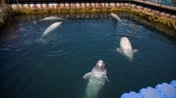 Sejumlah paus beluga berenang dalam fasilitas penampungan di Primorsky, Rusia, Minggu (7/4). Sebanyak 11 orca atau paus pembunuh dan 87 beluga atau paus kepala melon ditampung di fasilitas ini. (Press Service of Administration of Primorsky Krai/Alexander Safronov/Handout via Reuters)
