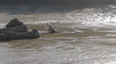 buaya berkalung ban di sungai palu
