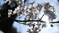 Bunga sakura yang sedang mekar bunganya terlihat di Pemakaman Yanaka di distrik Taito, Tokyo, Jepang (26/3). Pohon sakura berbunga setiap satu tahun sekali, kuncup bunga sakura mulai terlihat di akhir musim dingin pada bulan Maret. (AFP Photo/Charly Triballeua)